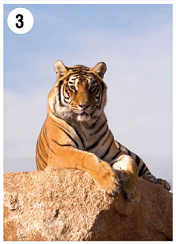 Tiger is a King of Rock Poster 70X50 cm